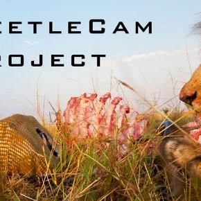 BeetleCam vs Lwy z Masai Mara